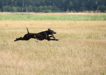A gun dog on field tests, horizontal