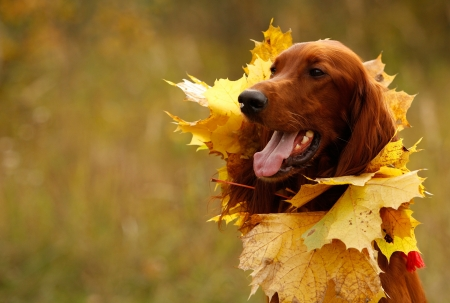 Portrait of a setter with yellow leaves, horizontal photo