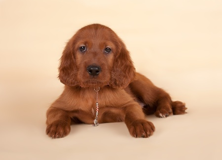 The cute puppy of a setter is posing in studio  Imagens