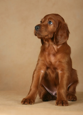 removed: The adorable puppy of a setter is removed on a beige background in studio  Stock Photo
