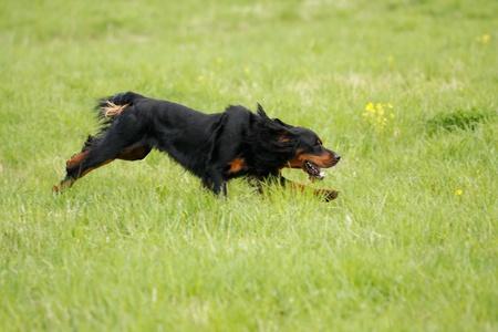 The dog runs on a green grass
