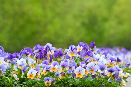 A background of purple and white pansies