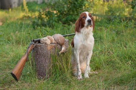 perro de caza: Setter sentado próximo trofeos y fusil sobre hierba