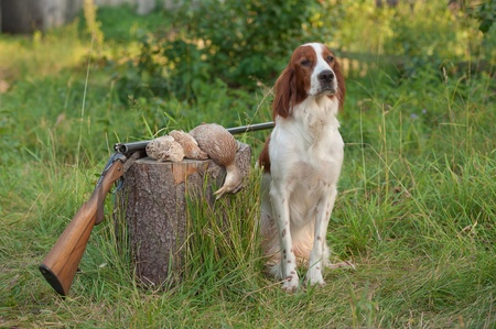 spotted dog: setter sitting next trophies and rifle on grass