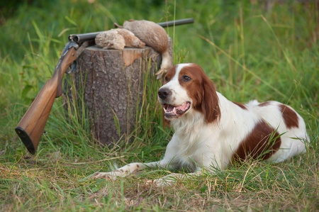 setter and trophies and rifle on grass