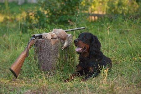 quail: setter and trophies and rifle on grass