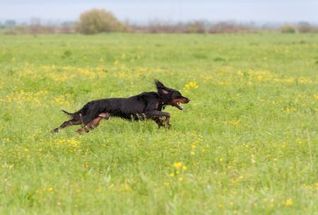 The dog runs on a green grass. Shallow DOF, focus on dog. Shooting with panning. Standard-Bild