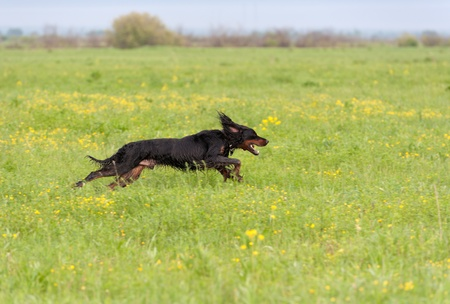 The dog runs on a green grass. Shallow DOF, focus on dog. Shooting with panning. Imagens