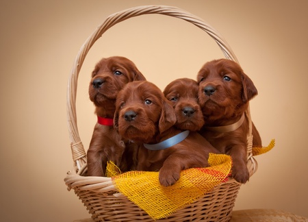 pups: Four puppies of setter sit in basket, studio,horizontal Stock Photo