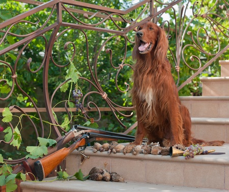 setter: Bird hunting dog sitting on a ladder near two shotguns and birds