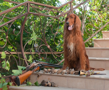 quail: Bird hunting dog sitting on a ladder near two shotguns and birds