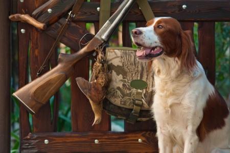 fusil de chasse: Chien de chasse à proximité de fusil de chasse et des trophées, horizontal, à l'extérieur