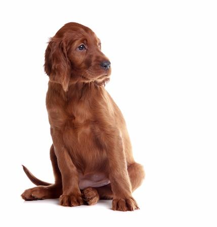 setter: puppy setter sitting on the white background