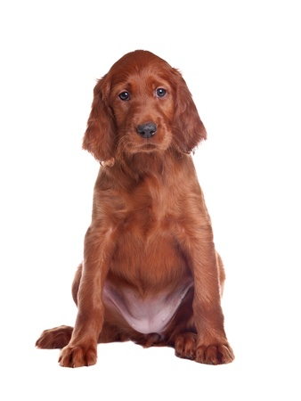 irish background: The puppy of a setter is removed on white background in studio