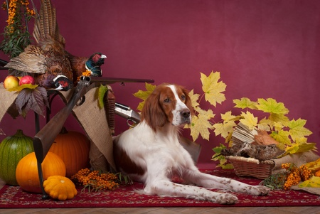 dead dog: Working dog resting after the hunt beside a shotgun and several hung pheasant and woodcock, studio, horizontal Stock Photo