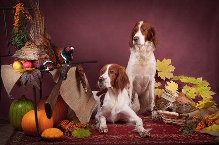 Two working dogs resting after the hunt beside a shotgun and several hung pheasant and woodcock, studio, horizontal Standard-Bild