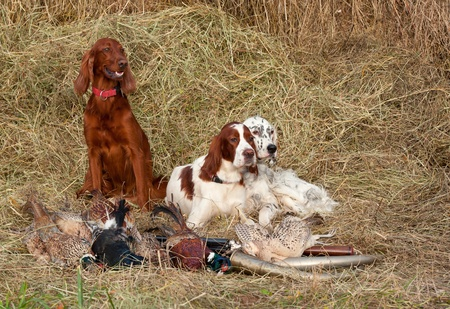 setter: Three Bird dog resting after the hunt beside a shotguns and pheasants in front of a hay, horizontal Stock Photo