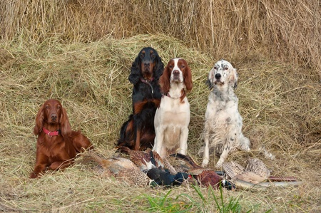 Four gun dog resting after the hunt beside a shotguns and pheasants in front of a hay, horizontal