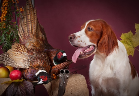 Working dog resting after the hunt beside a shotgun and several hung pheasant and woodcock, studio, horizontal photo