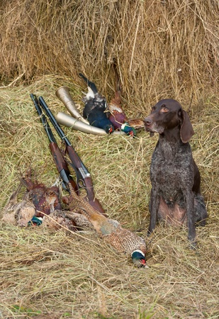 perro de caza: Perro de trabajo en reposo después de la caza junto a una escopeta y faisanes en frente de un heno, vertical Foto de archivo