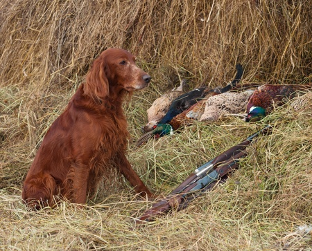 Bird dog resting after the hunt beside a shotguns and pheasants in front of a hay photo