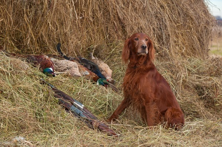 Bird dog resting after the hunt beside a shotguns and pheasants in front of a hay, horizontal photo