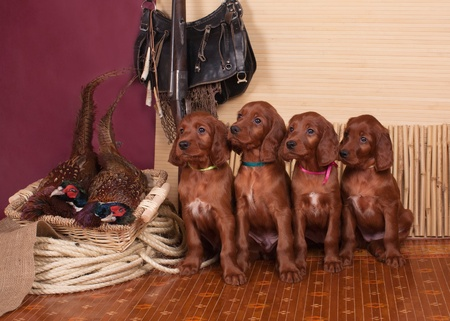 Four setters puppies sitting pheasants, horizontal Stock Photo - 11176252