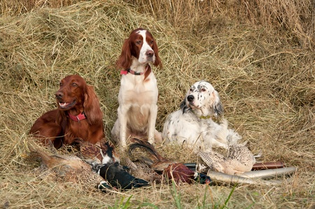 Three Bird dog resting after the hunt beside a shotguns and pheasants in front of a hay, horizontal photo