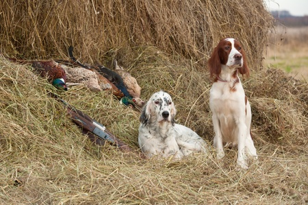 Two Bird dog resting after the hunt beside a shotguns and pheasants in front of a hay, horizontal