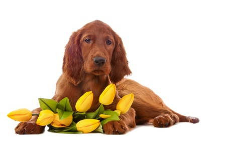 Irish setter puppy with yellow tulips, isolated on white background Standard-Bild