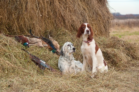 Two Bird dog resting after the hunt beside a shotguns and pheasants in front of a hay, horizontal photo
