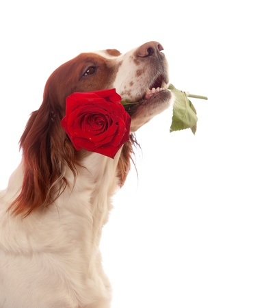 Side portrait of cute dog with red rose in mouth, isolated on white background. photo