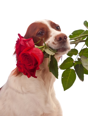 Side portrait of cute dog with three red roses in mouth, isolated on white background.