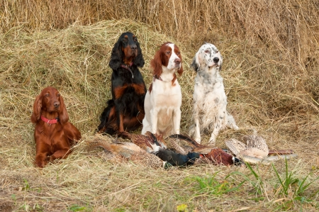 setter: Four gun dog resting after the hunt beside a shotguns and pheasants in front of a hay, horizontal