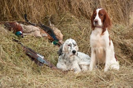 perro de caza: Dos aves del perro descansando después de la caza al lado de una escopeta y faisanes en frente de un heno, horizontal Foto de archivo