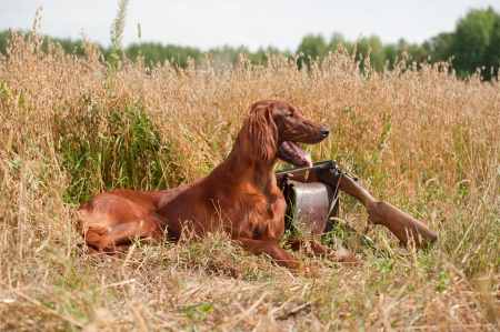 Gun dog near to shot-gun, horizontal, outdoors photo