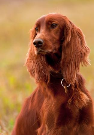 Portrait of a irish red setter, vertical photo
