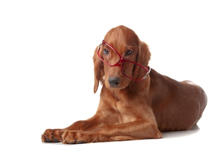 The puppy of a setter is removed on white background in studio photo