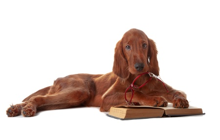 Setter puppy on white background in studio photo