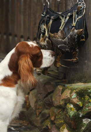 Gun dog near to  trophies, vertical, outdoors photo