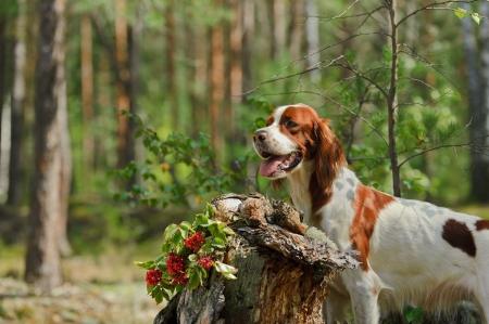 Gun dog near to trophies, horizontal, outdoors photo