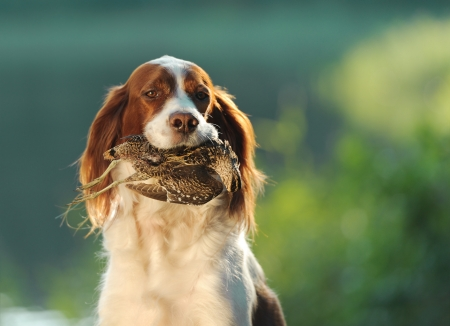 hunting dog holding in teeth a sandpiper, outdoors, horizontal Imagens