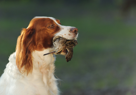 hunting dog holding in teeth a sandpiper, outdoors, horizontal Stock Photo