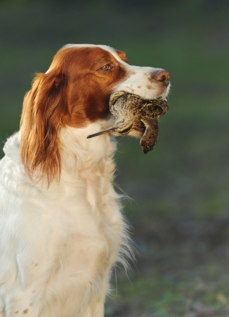 hunting dog holding in teeth a sandpiper, outdoors, vertical Imagens