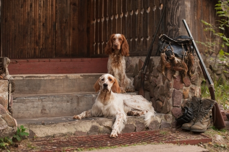 Gun dog near to shot-gun and trophies, horizontal, outdoors 版權商用圖片