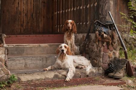 perro de caza: Pistola perro cerca al aire libre horizontal, cañón y trofeos, Foto de archivo