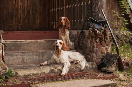 springer: Gun dog near to shot-gun and trophies, horizontal, outdoors Stock Photo