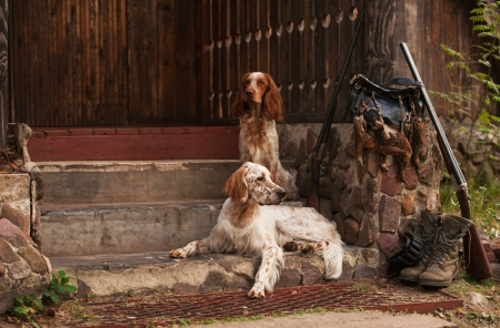 Gun dog near to shot-gun and trophies, horizontal, outdoors Standard-Bild