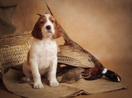Puppy and pheasant, horizontal, studio