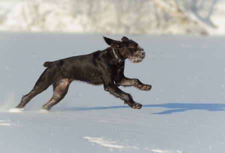 wirehaired: dog runs on snow, horizontal